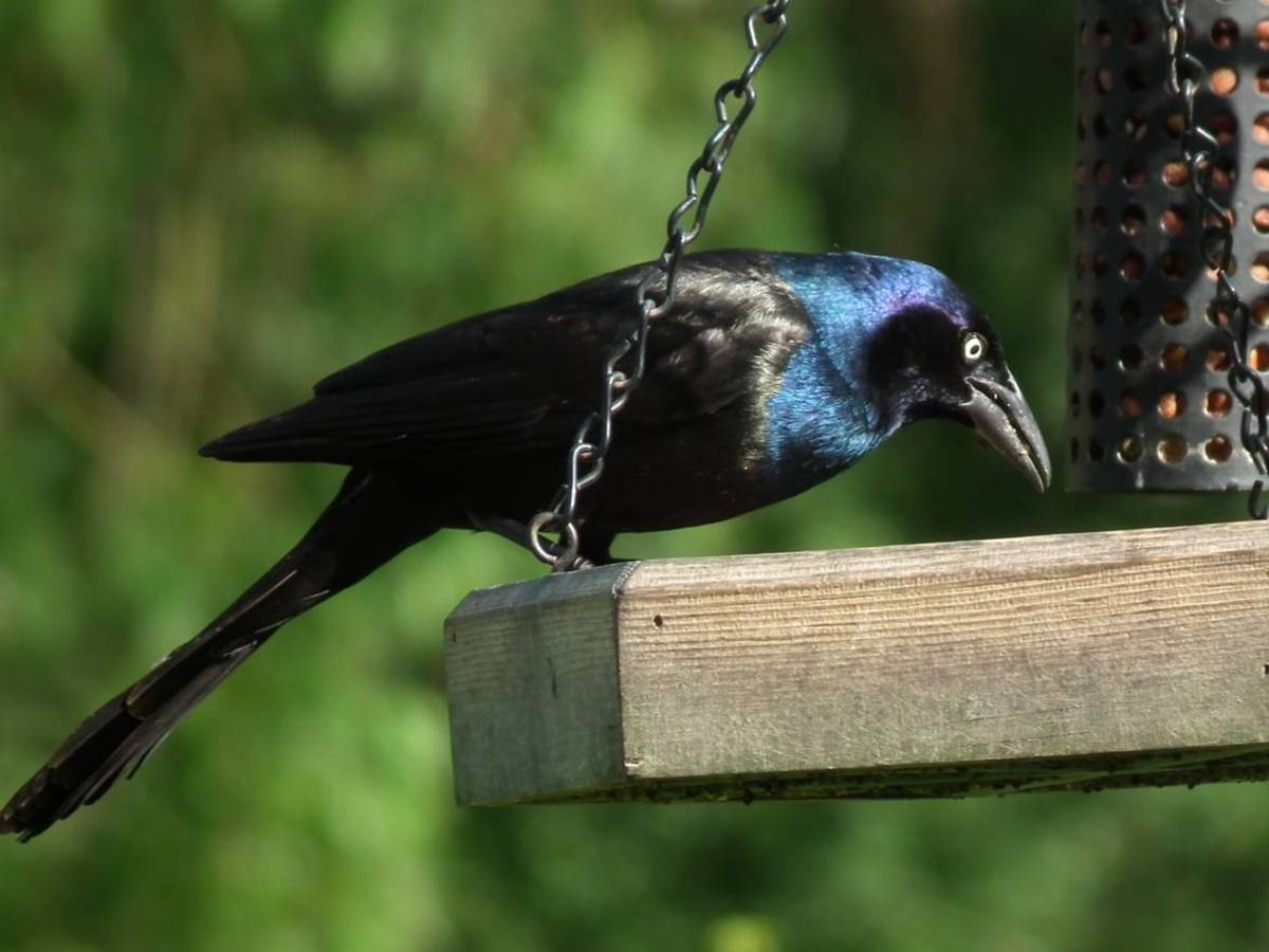 Common Grackle with Iridescent Blue Head