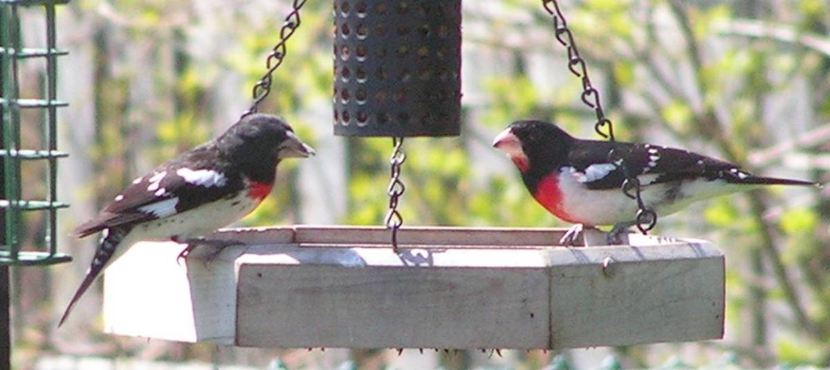 Male Rose-Breasted Grosbeaks at the Feeding Tray