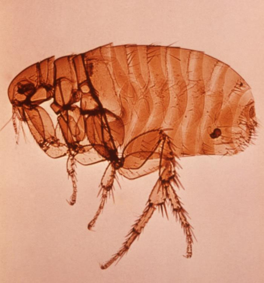 Plague carrying flea