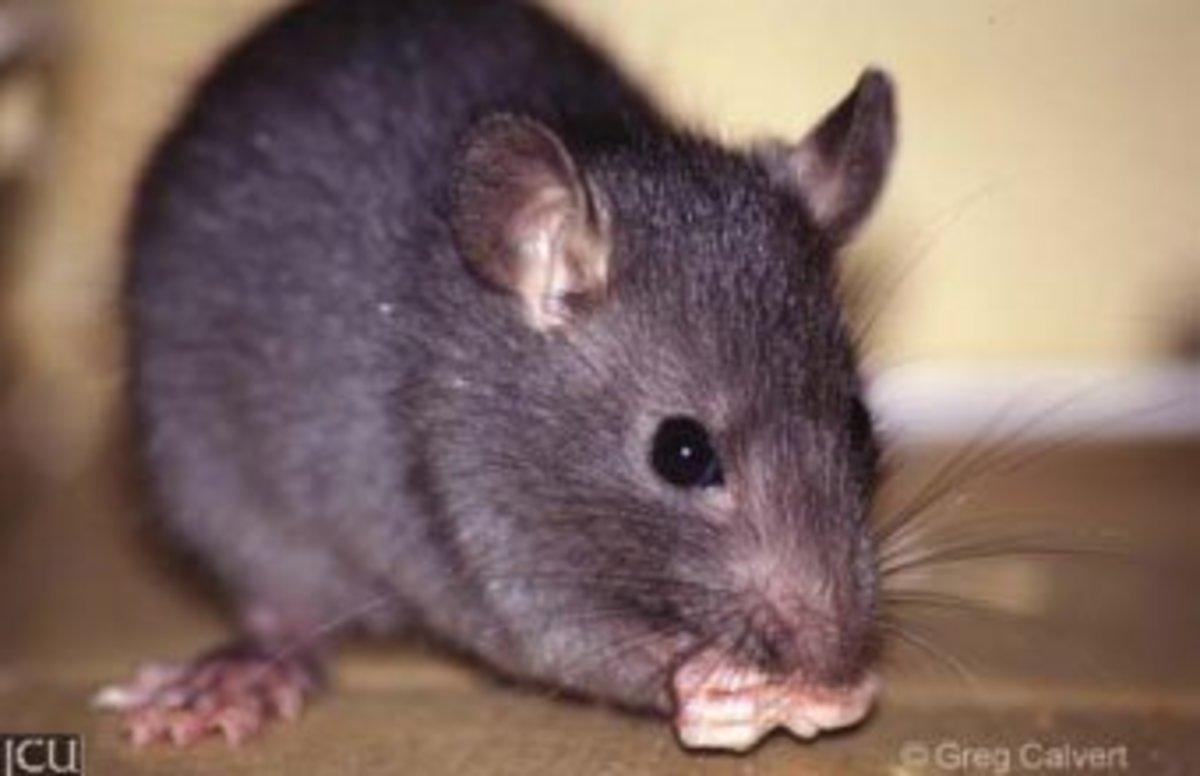 Black rat  carried the flea