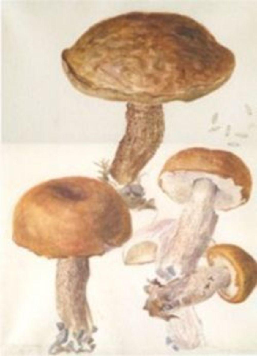 Beatrix Potter Fungi Illustration