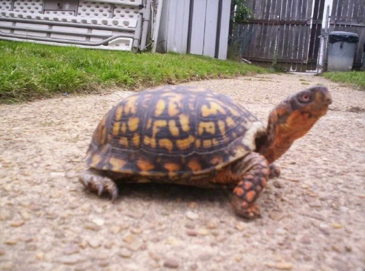 My Male Eastern Box Turtle 'Tasuki'