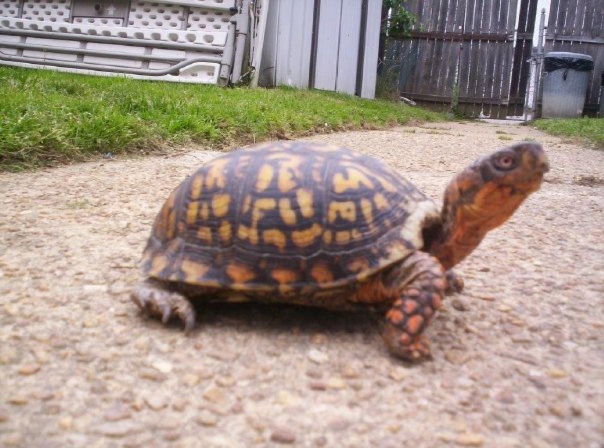 My Male Eastern Box Turtle 'Tasuki'