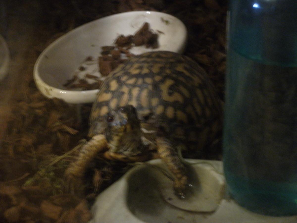 My Eastern Box Turtle 'Hope'