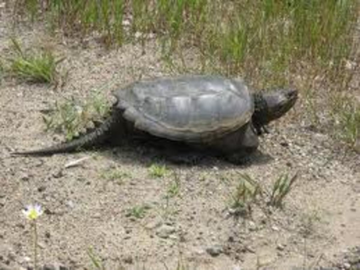 Another way a Snapping Turtle can look