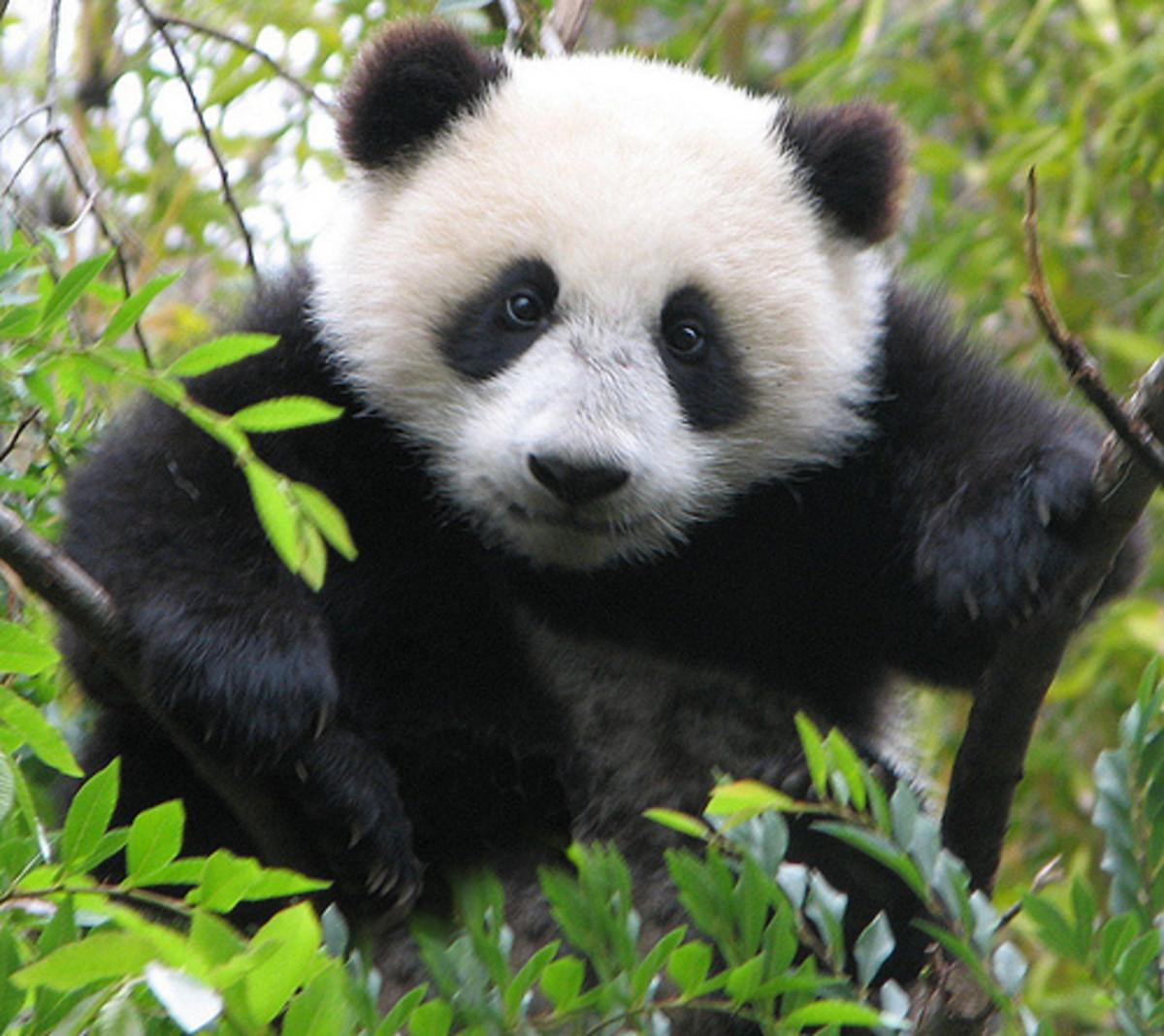 Photo Series-Panda Bears