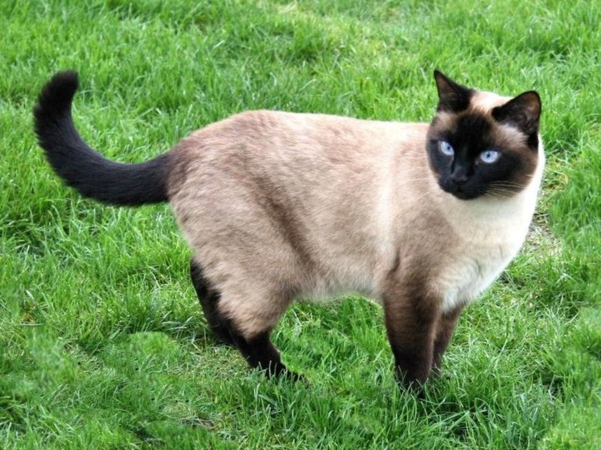 siamese cats' point colouration is caused by a form of incomplete albinism.  A temperature sensitive mutation in the tyrosinase gene results in a white body but pigmented extremities.