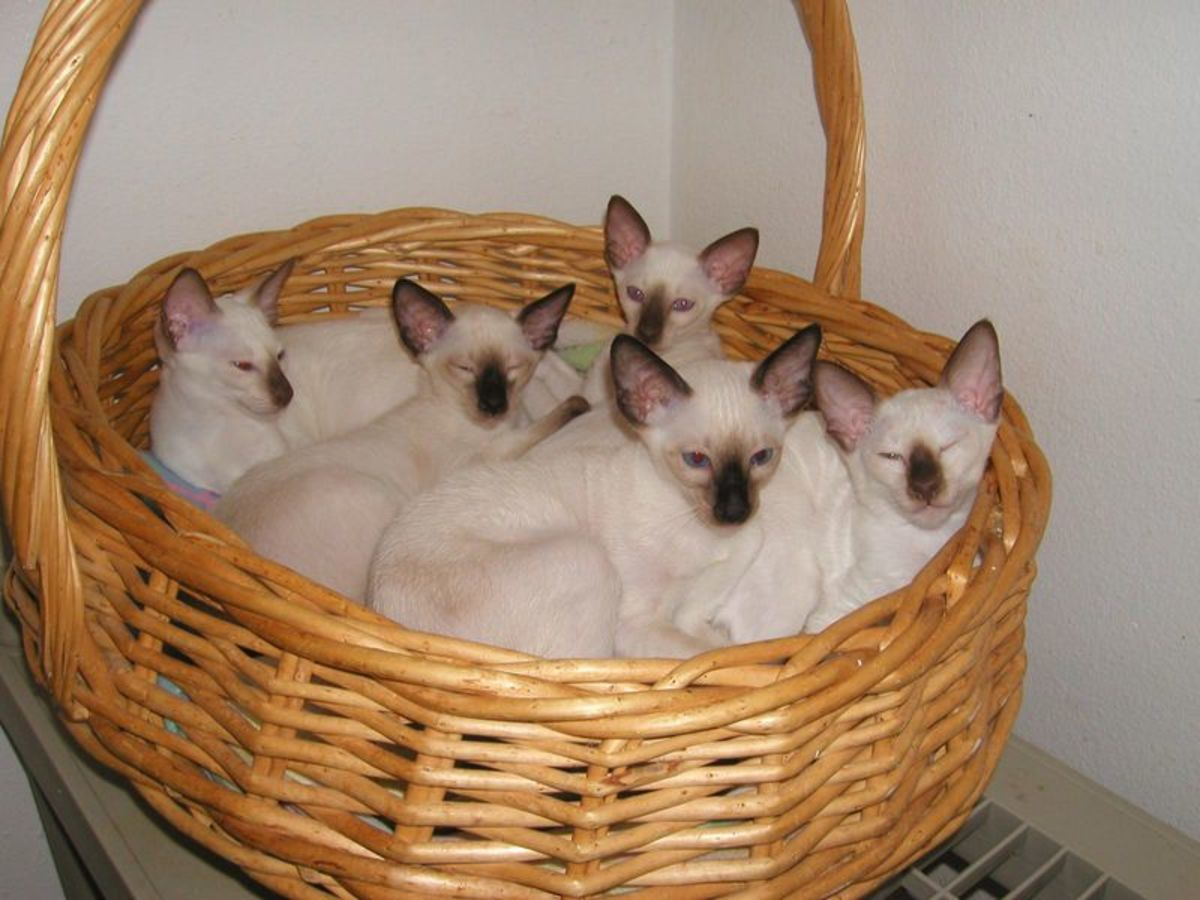 Siamese kittens are born completely white, pigmentation at the 'points' start developing a week after birth.