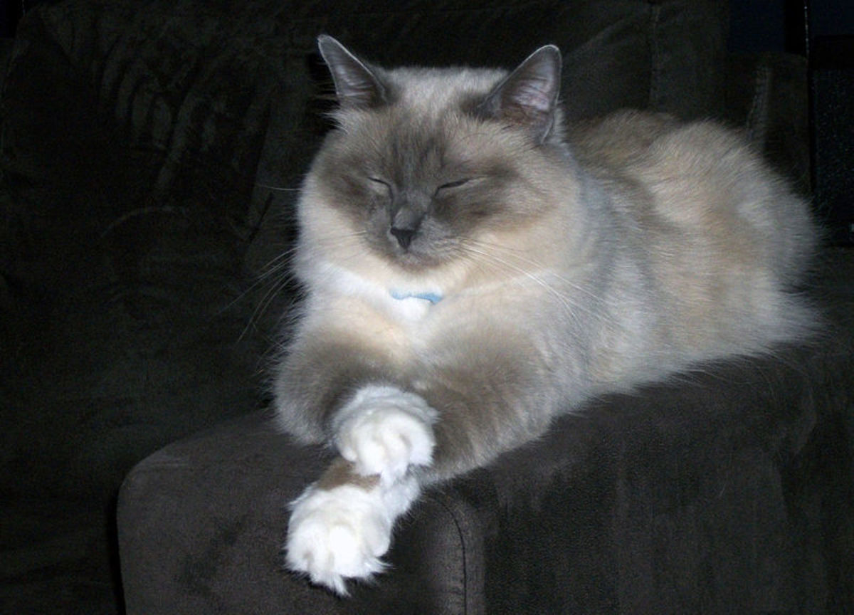 The genetic causes of the 'white gloves' of the birman cat breed are still not well understood.
