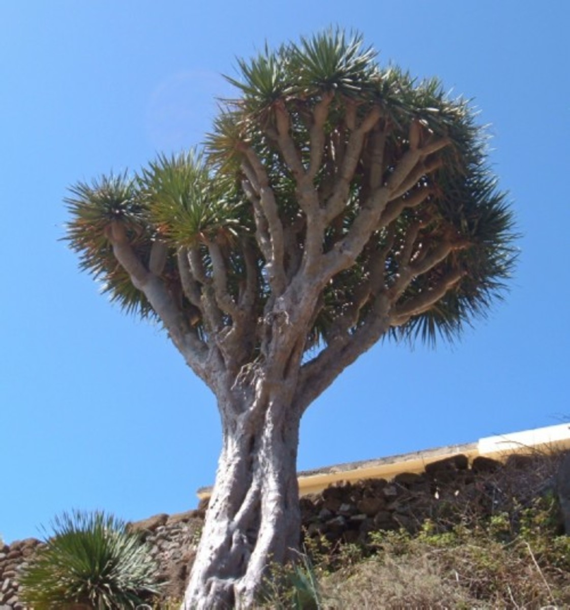 Chinamada Dragon Tree. Photo by Steve Andrews
