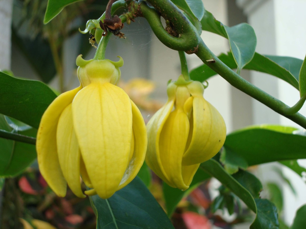 Since the goddesses rewarded the ylang-ylang tree the gift to flower, the former flowerless tree now bears beautiful, fragrant flowers.