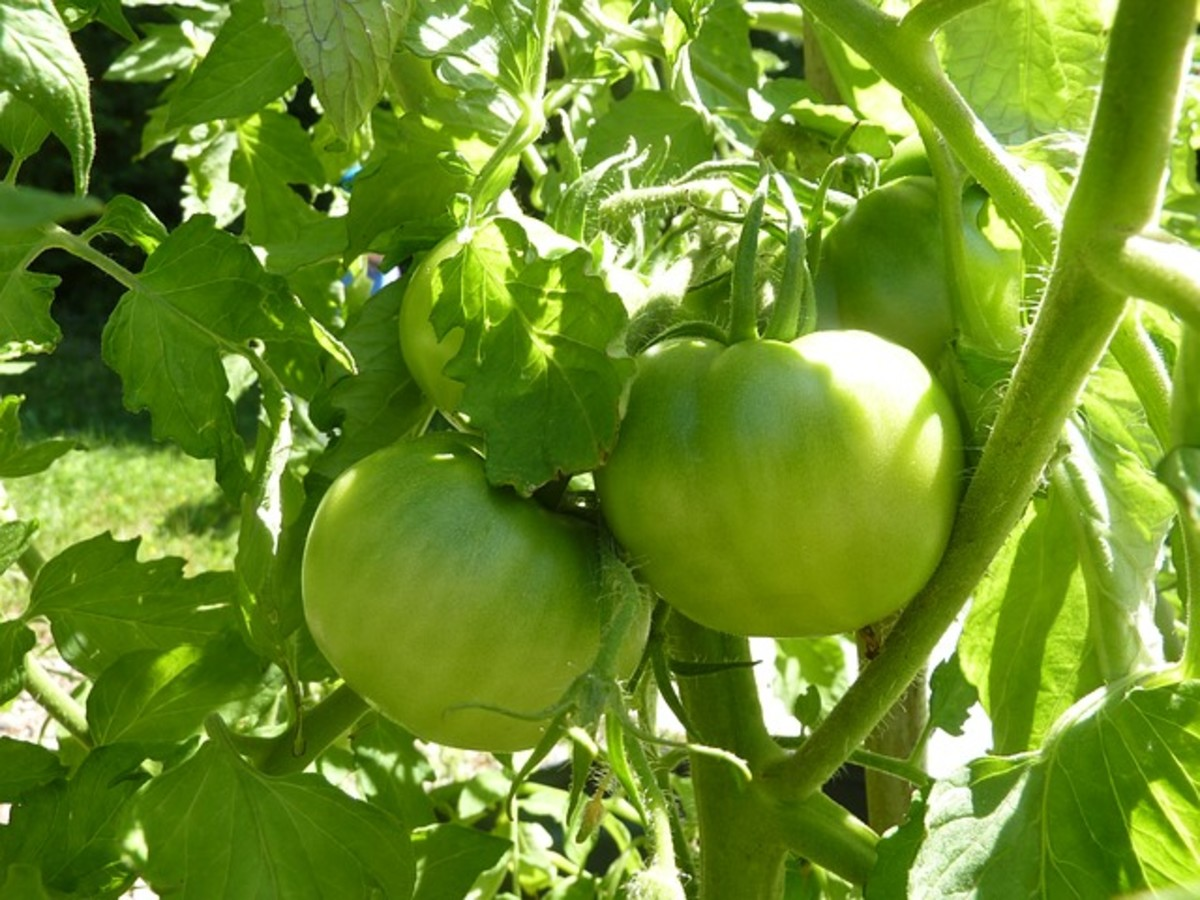 Health Benefits and Best Recipes For Green Tomatoes