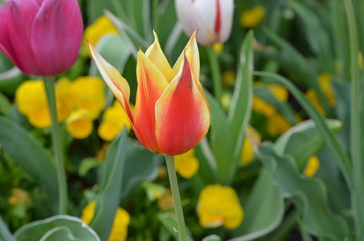 Bright tulip in a tulip garden this spring.