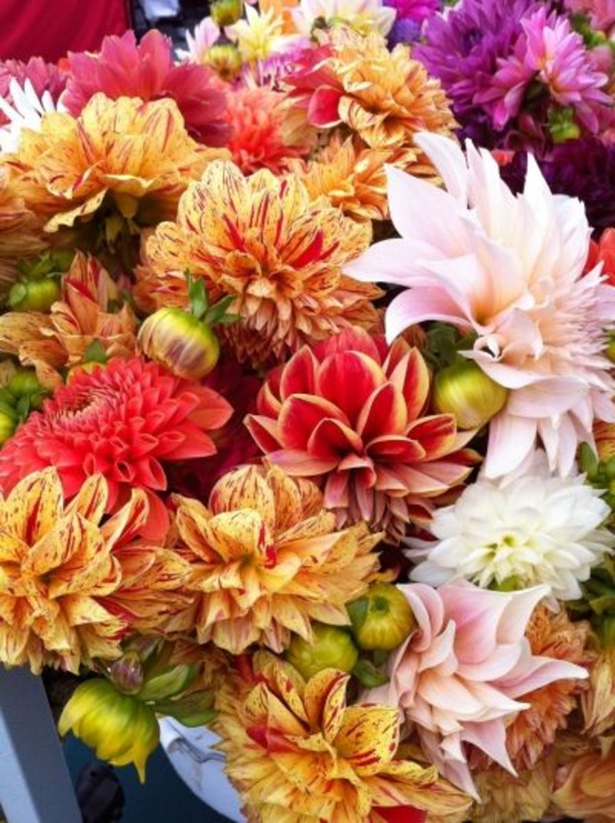 Multi-colored dahlias look beautiful in a cottage garden