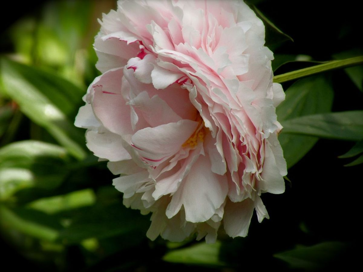 Pink Peony, Colorado Springs, Colorado