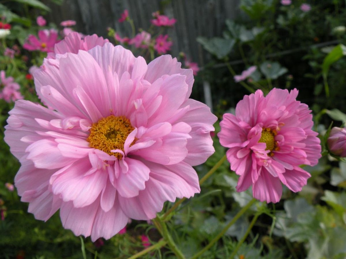 Double Ruffled Cosmos