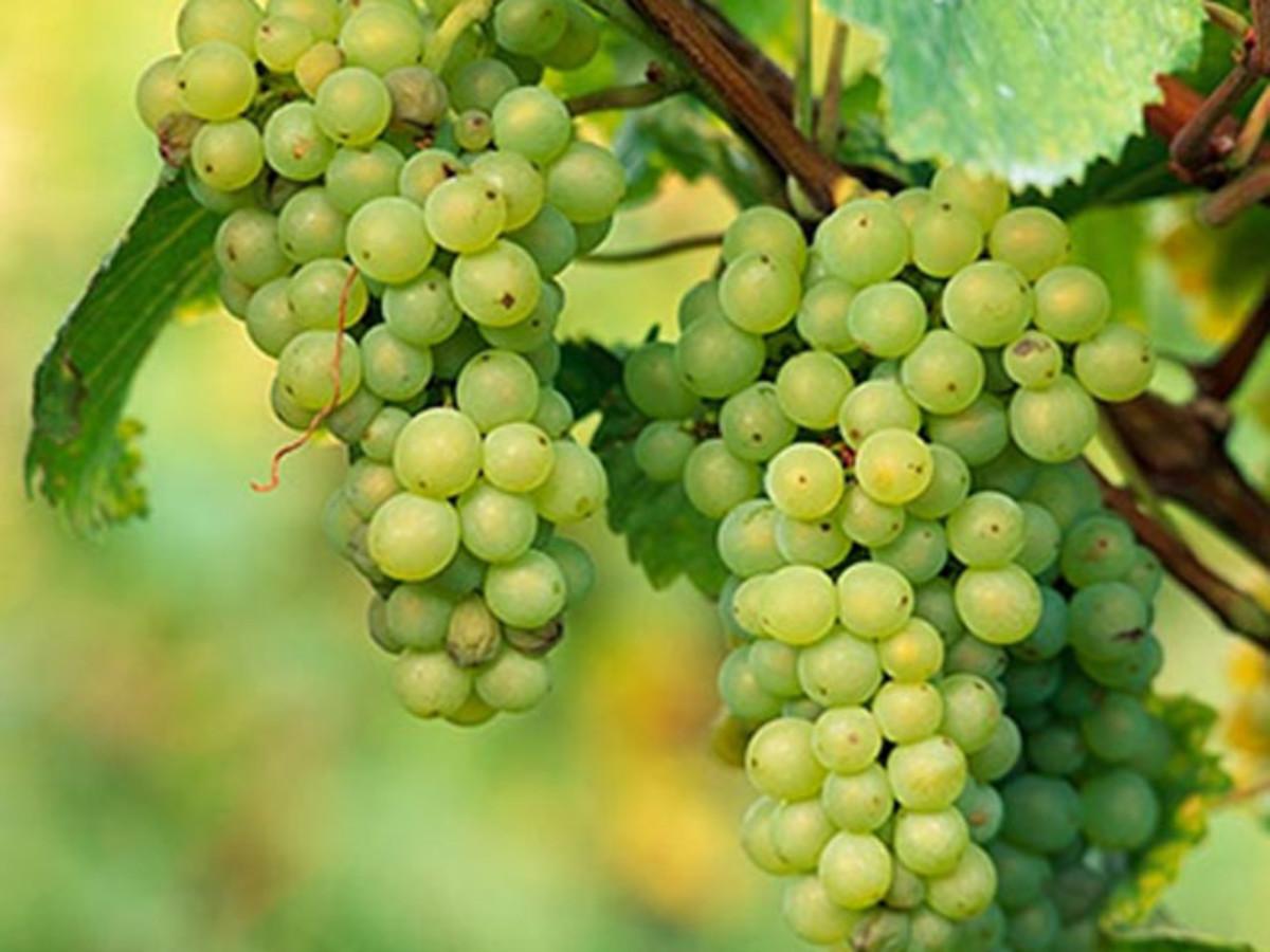 Grapes Berry Fruit