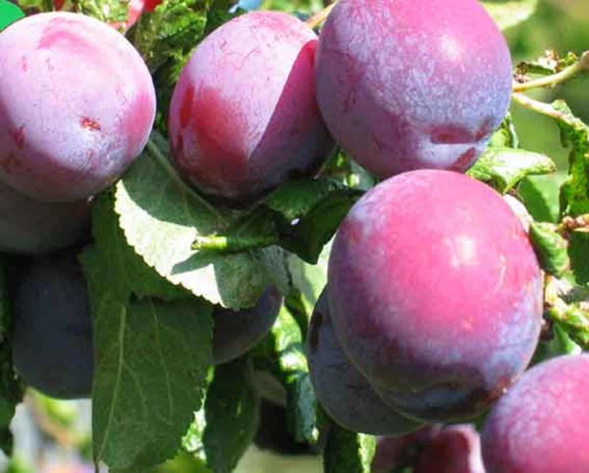 Plum Drupe Fruit