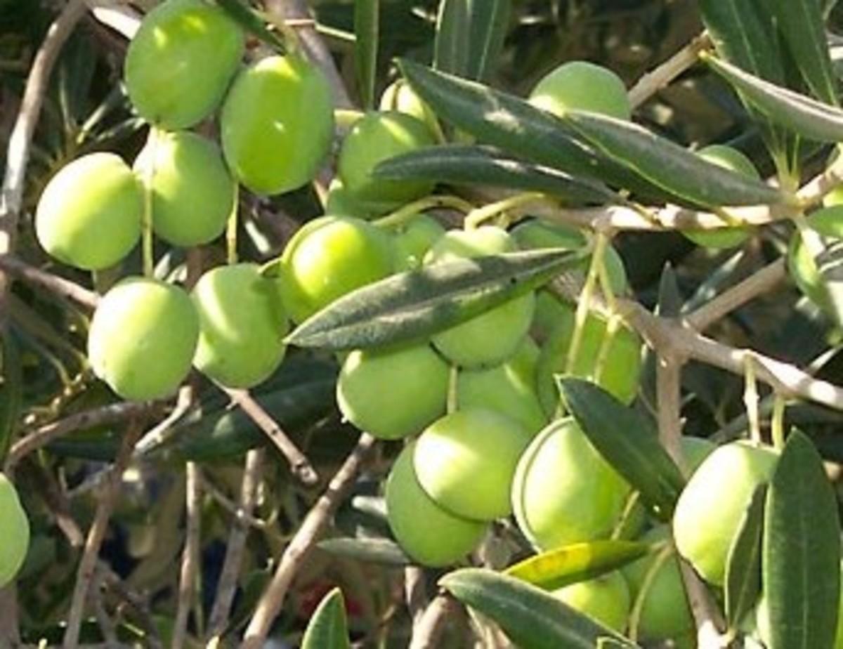 Olive Drupe Fruit