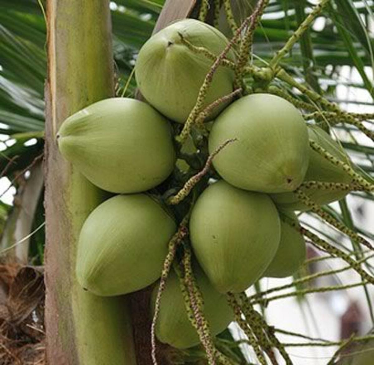 Coconut Drupe Fruit