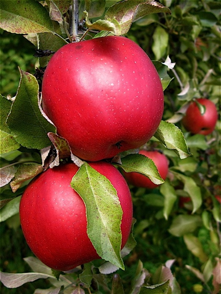 Apple Pome Fruit