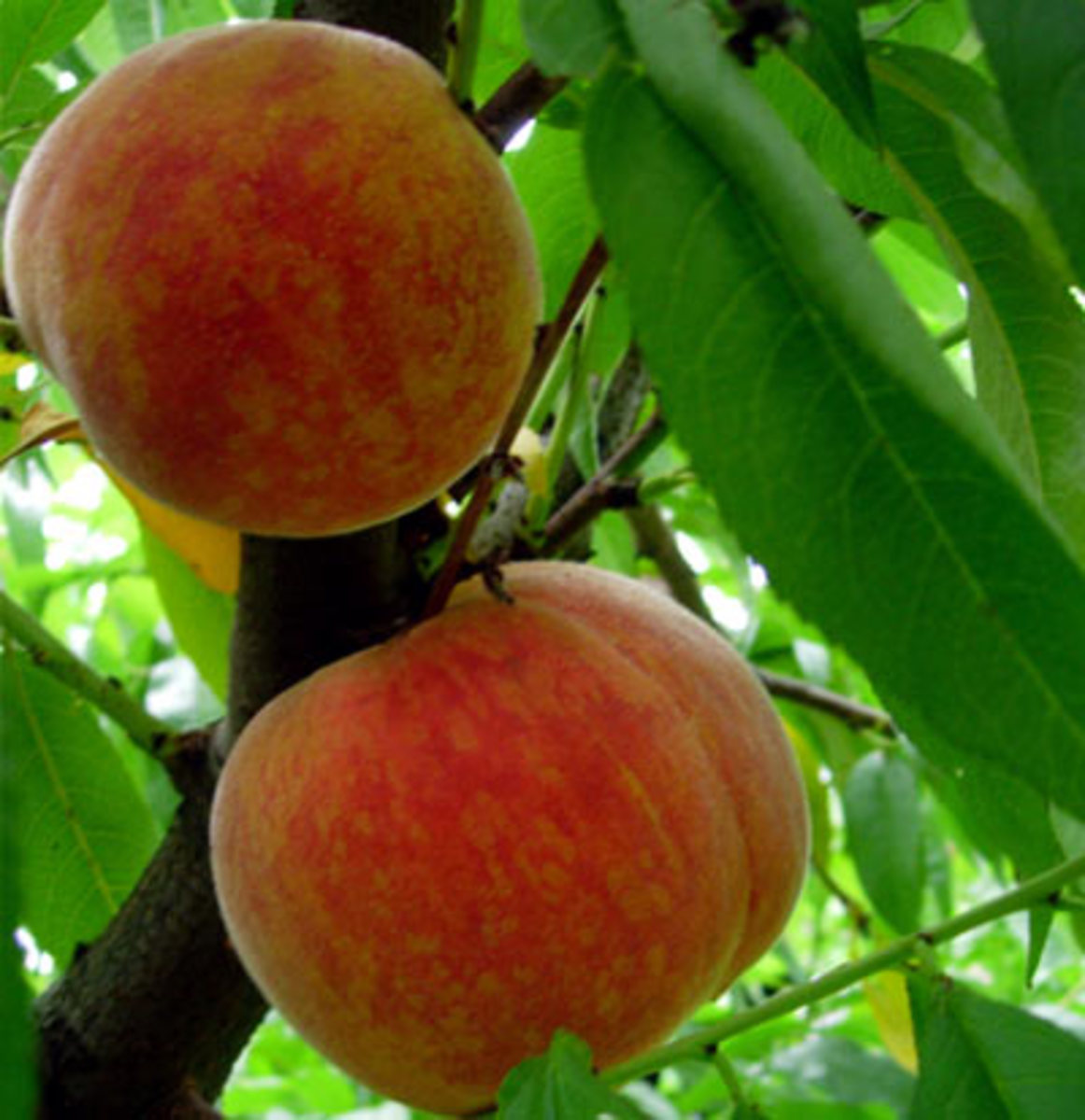 Peach Drupe Fruit
