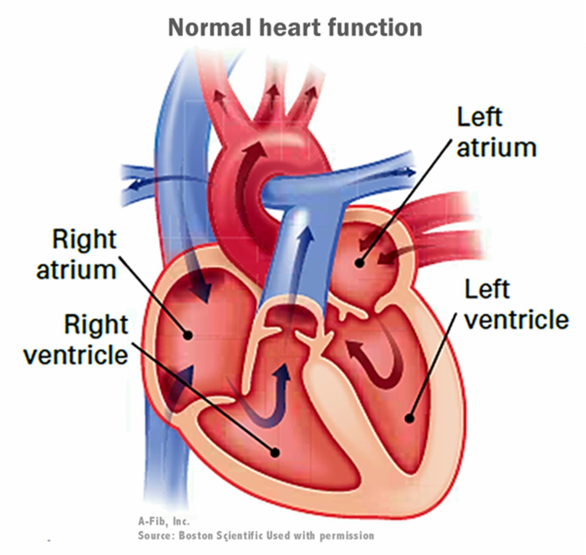 Normal heart function and blood flow.