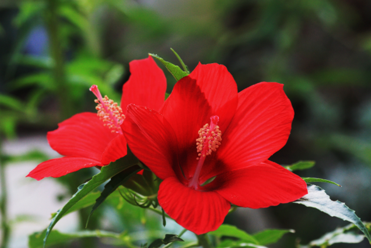 Hardy hibiscus will add spectacular color all summer.