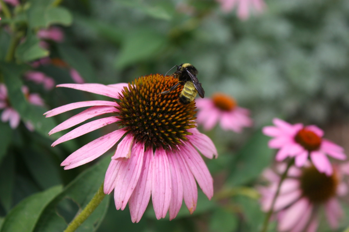 Beautiful pink cone flower with a bee gathering pollen.