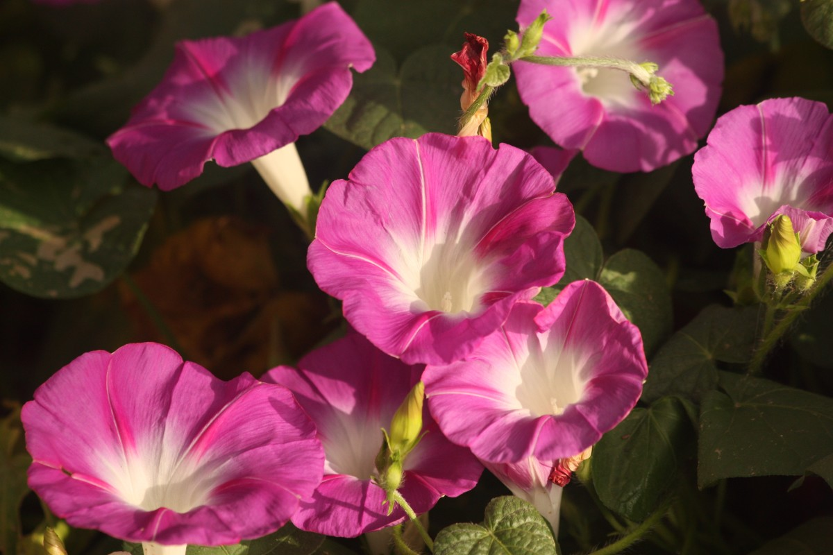 Morning glories are beautiful climbers for a trellis.