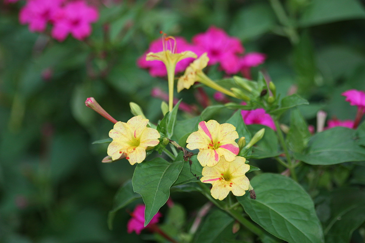 Yellow and pink 4 o'clock flowers.