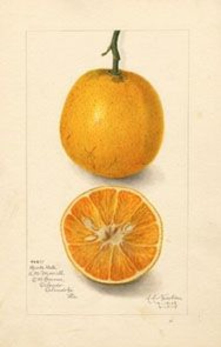 Illustration of an orange 1887, public domain from Wikimedia