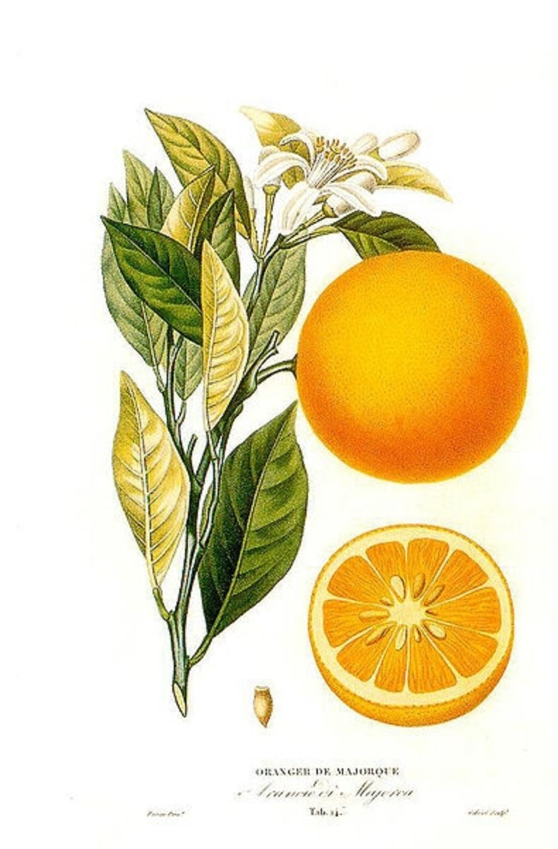 A botanical illustration by A. Risso and A. Poiteau, public domain image from Wikimedia