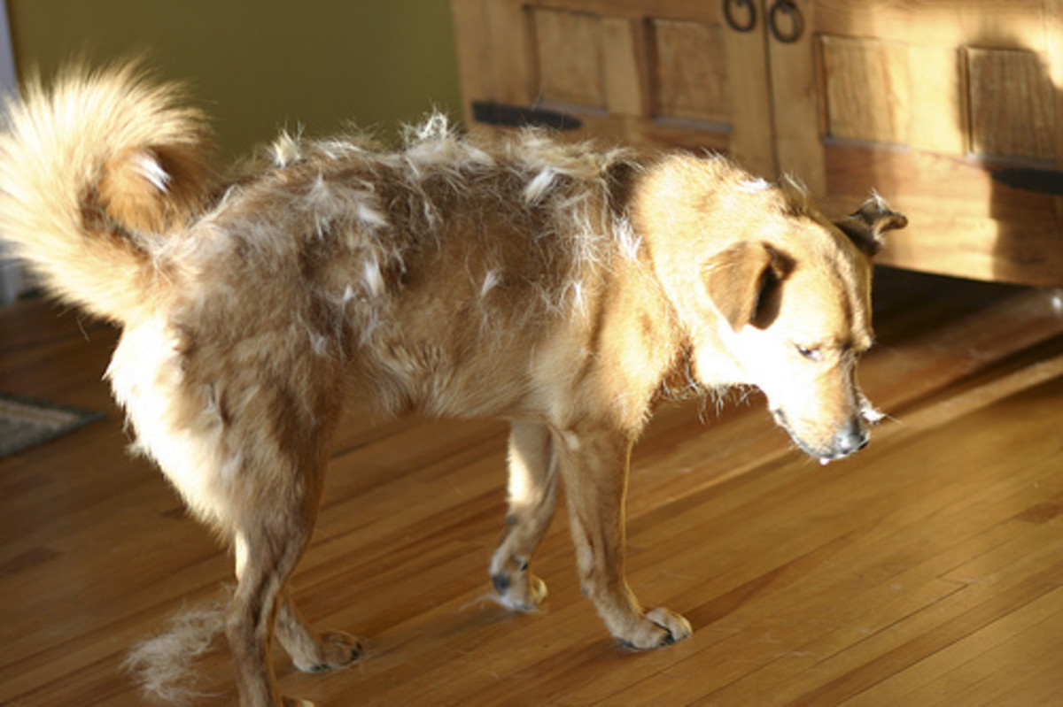 Dogs that Shed the Most