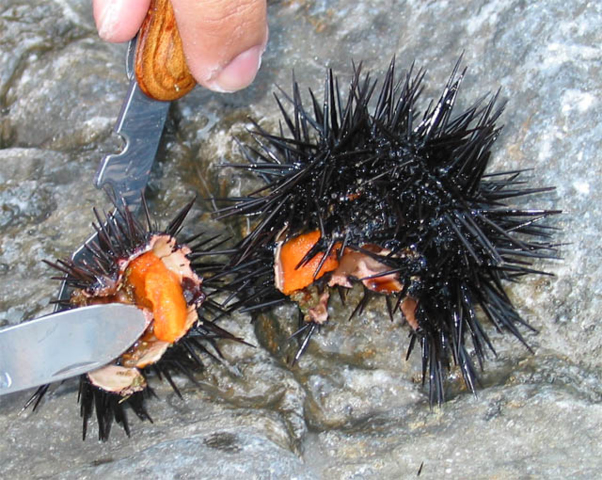 Eating Sea Urchins.
