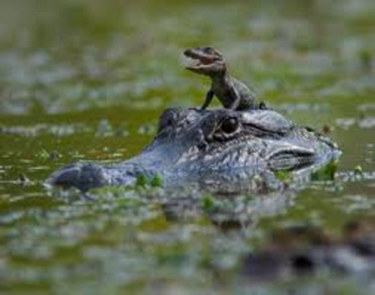 Mommy taking hatchling to water