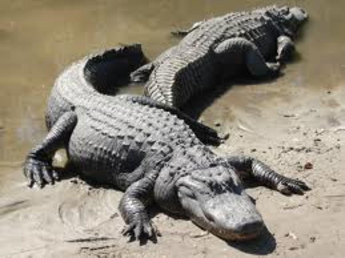 Alligators sun bathing