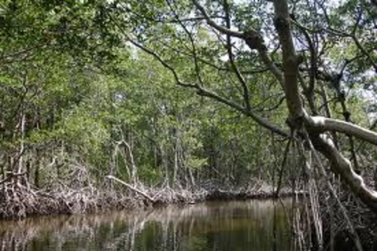 Mangrove swamp in the Everglades