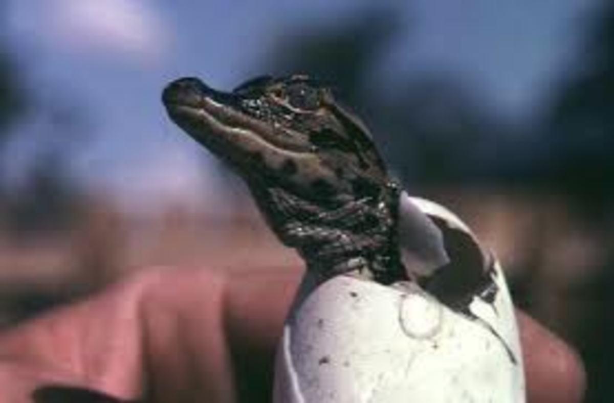 Alligator just hatched