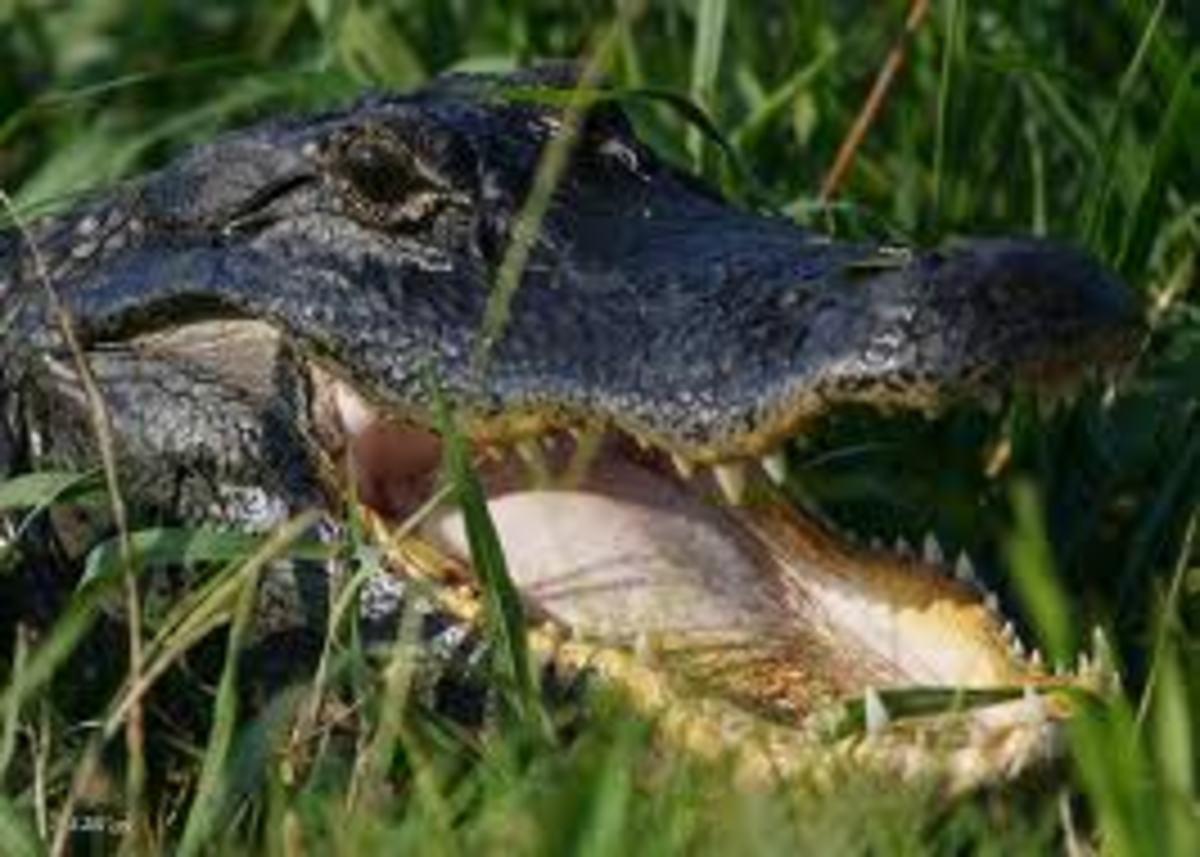 Female alligator guarding nest
