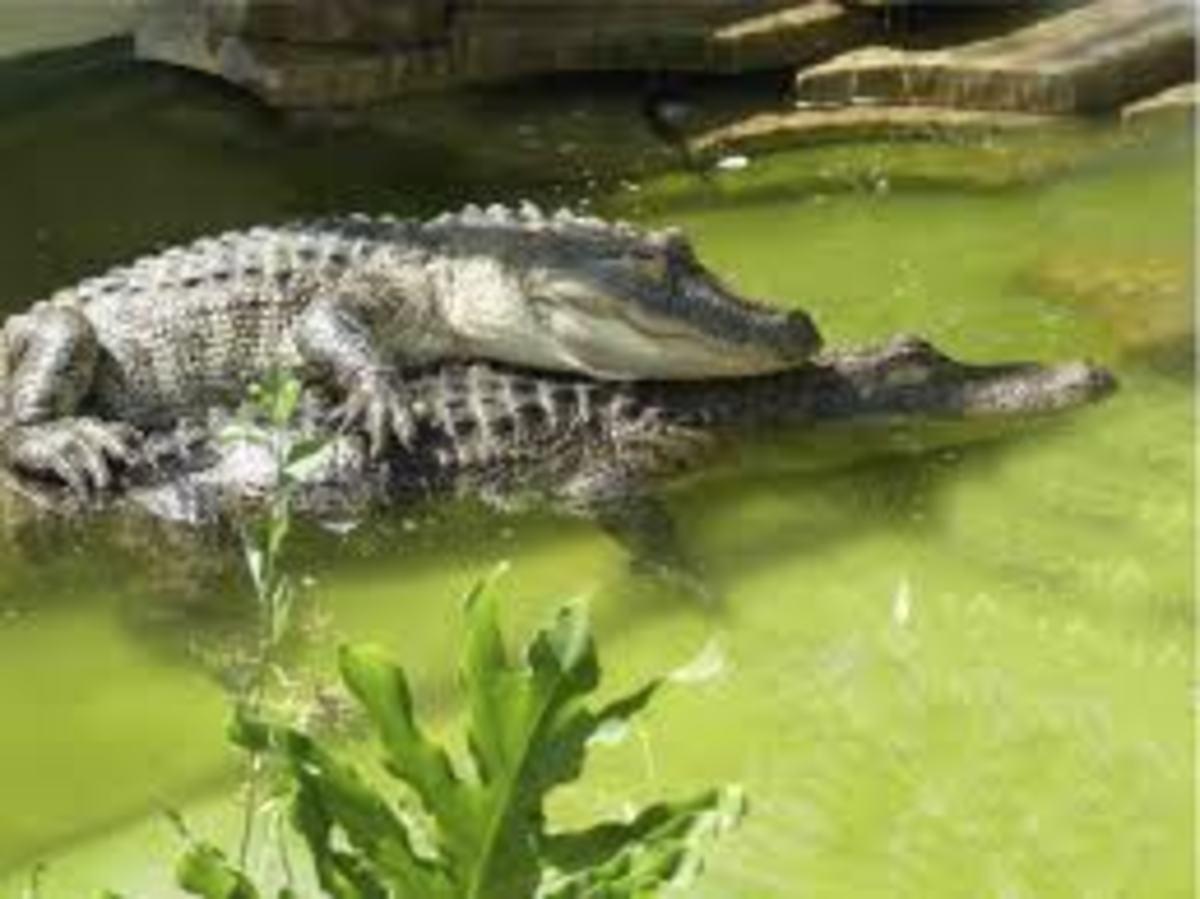 Alligators mating