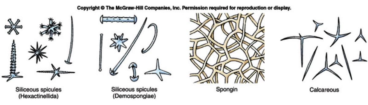 phylum-porifera