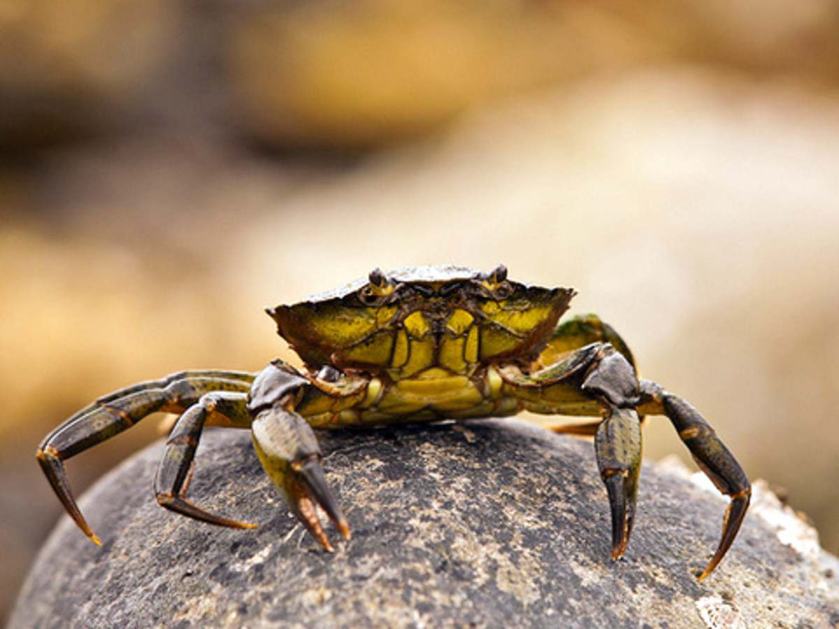 Filipino folk tales 'Battle of the Crabs', the crabs were waging war with the mighty sea waves