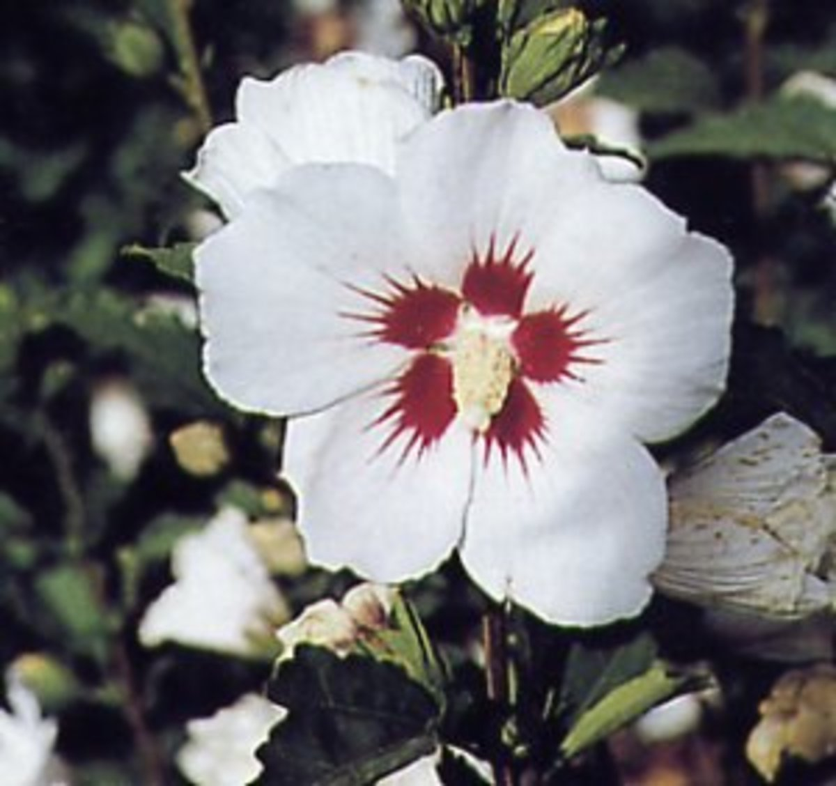 How to Grow Rose of Sharon