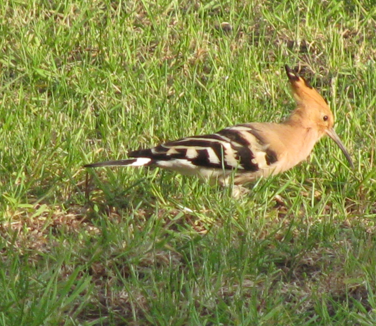 a-hoopoe-in-a-french-garden-upupa-epops-description-range-habits-diet-other-interesting-facts