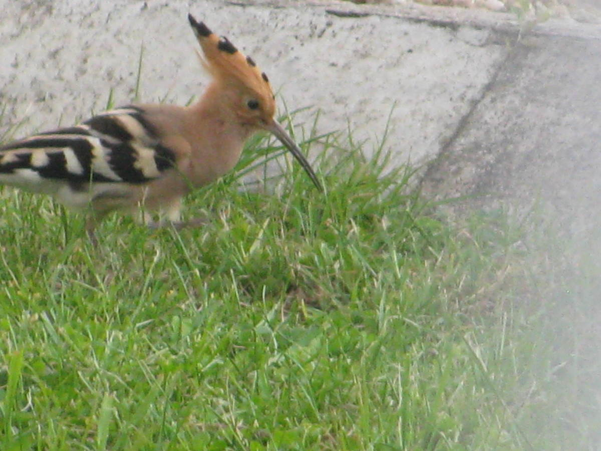 Hoopoe in a French Garden: Upupa Epops - Description, Range, Habits, Diet & Other Interesting Facts