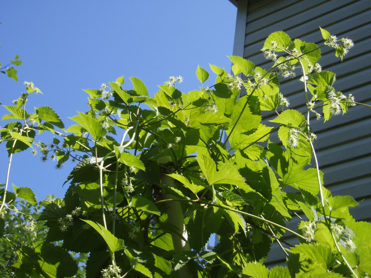 How to grow your own hops at home!