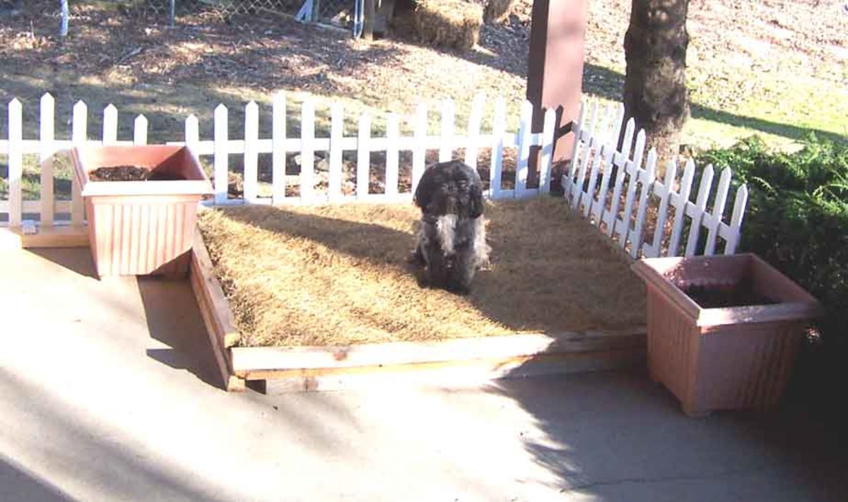 My dog on dormant sod after winter use