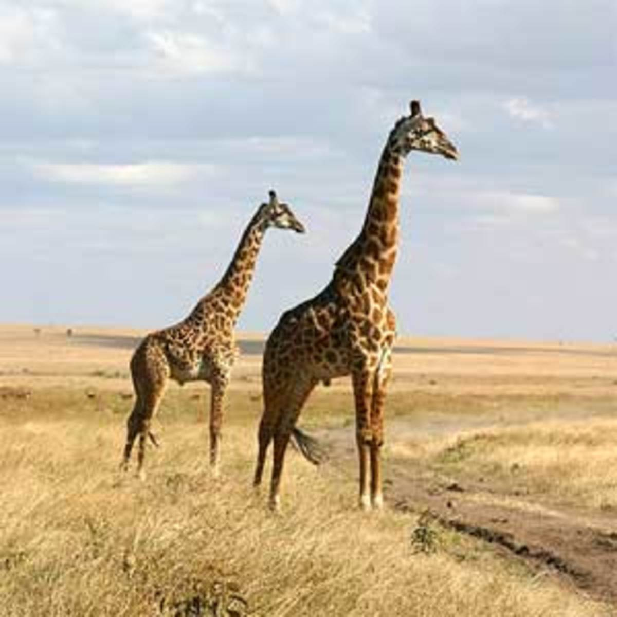 20-fun-and-interesting-facts-about-giraffes