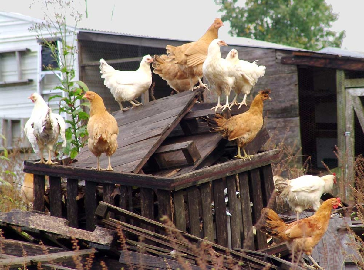chick-fight-all-female-groups-have-a-pecking-order